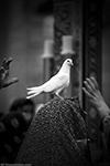 11 - Bird Of Happiness - Iran - Mashhad - Hollyshrin Of Imamreza - 2012